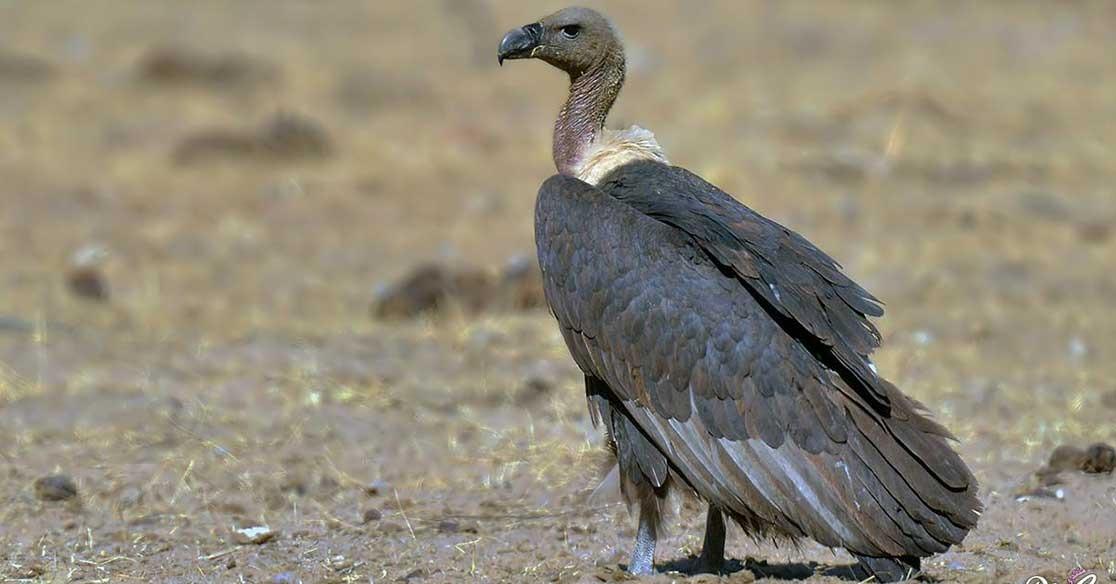 معلومات عن النسر.. الطائر الأصلع الذي يتسكّع حول الجيوش