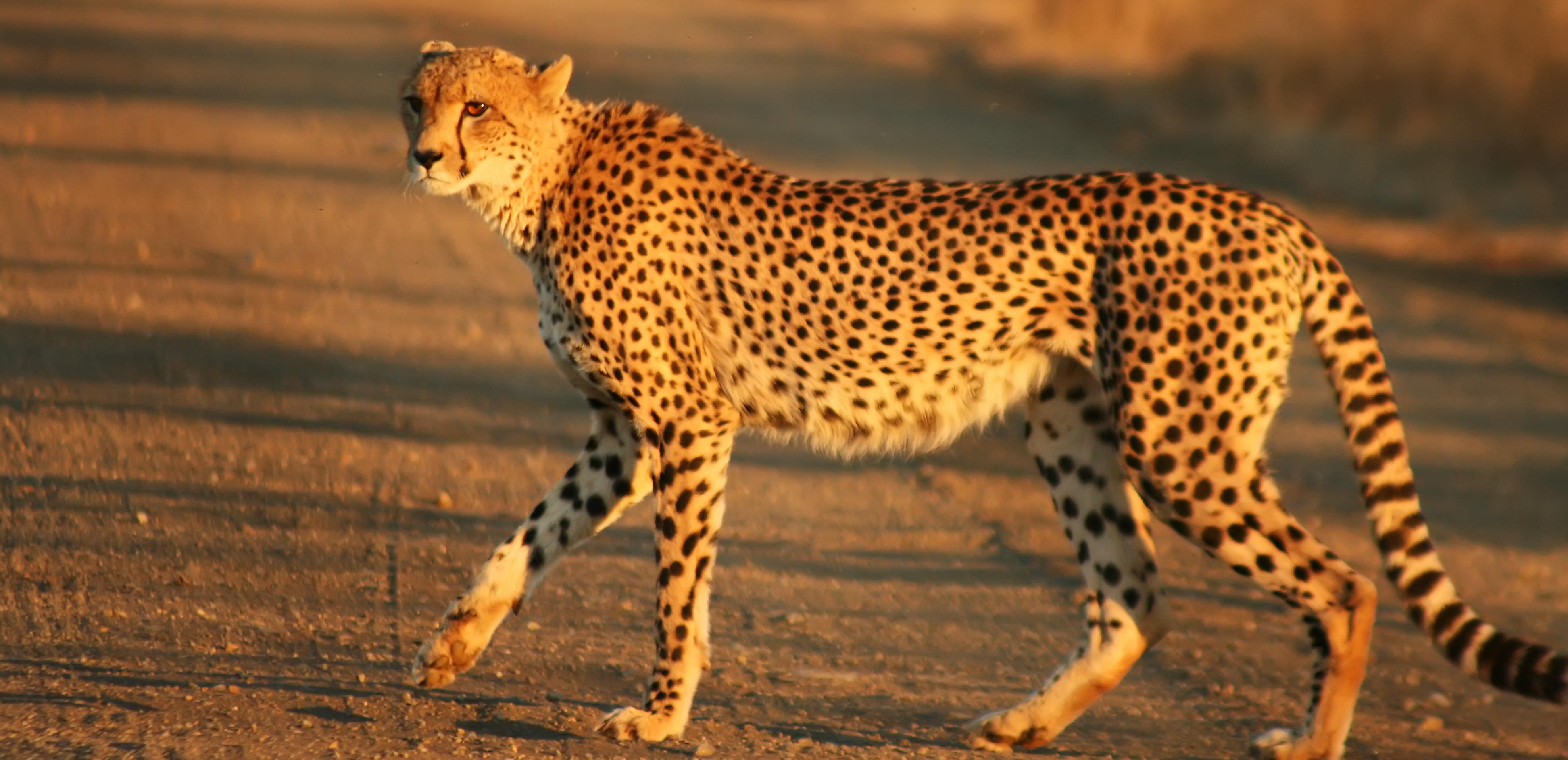 أسرع الحيوانات البرية في العالم