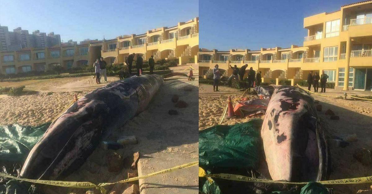 حوت ضخم على شاطئ الإسكندرية.. طوله 13 مترا ويزن 3 أطنان ونصف (فيديو)