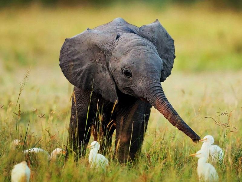 هل تحب الأفيال؟.. هؤلاء كانوا يأكلون لحومها