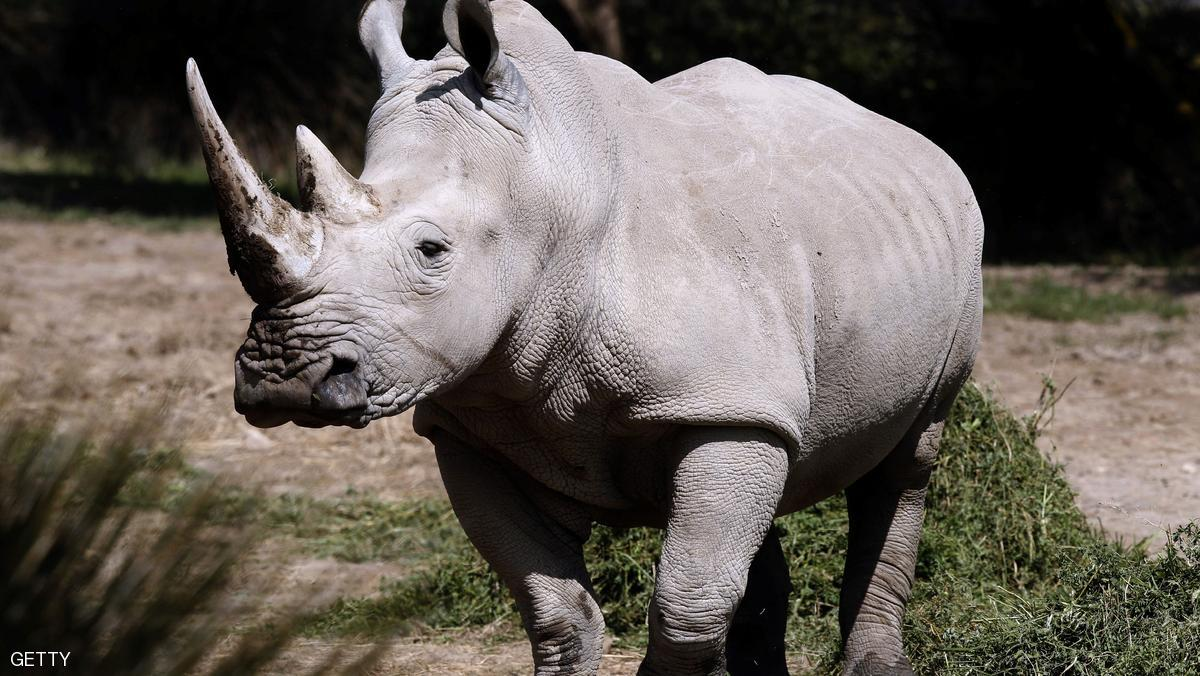 قرن الخرتيت.. «وهم» أغلى من الذهب هدد وجود وحيد القرن