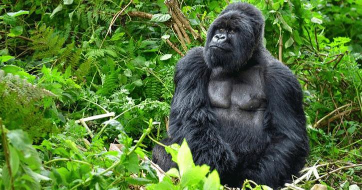 «غوريلا رامز في الشلال».. معلومات عن الحيوان المهدد بالانقراض