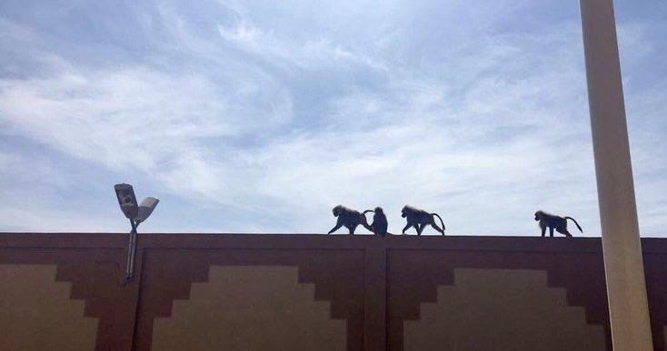 بالصور.. قرود وكلاب تقتحم جامعة سعودية للبنات
