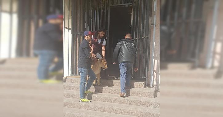شاهد أسد يهاجم العاملين في ماسبيرو