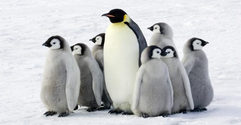 معلومات عن البطريق.. يعيش في مستعمرات ويقدس الحياة العائلية