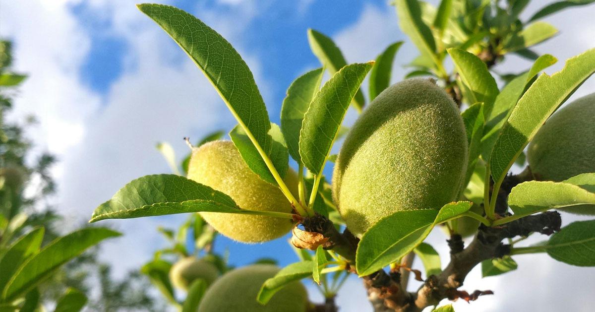 فوائد اللوز الأخضر.. حلو للرئة والقلب وحاجات تانية