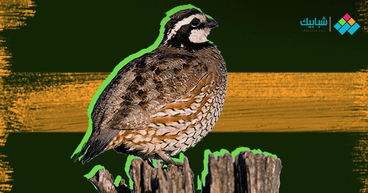 طائر السمان.. معلومات وفوائد وما يميز الذكر عن الأنثى