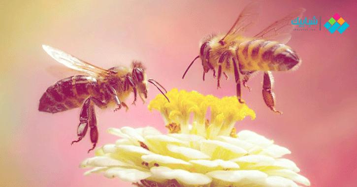 معلومات عن النحل.. أكثر من 20 ألف نوع ينتمون لـ9 عائلات